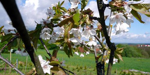in der mitte kirschblüten